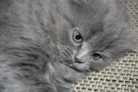 Foto 5 Süße Scottish Fold Kitten