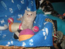 Foto 9 Süsse Verschmuste BKH Kätzchen mit Stammbaum