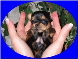 Foto 2 Süße Yorkiebabys