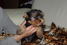 Foto 2 Süße Yorkshire Terrier Welpen
