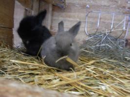 Foto 3 Süße Zwergkaninchen