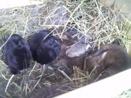 Foto 4 Süße Zwergkaninchen