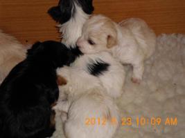 Foto 2 Süße kein bleibende Hunde Mischlingswelpen