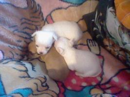 Süße kleine mini Chihuahua Rüden
