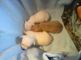 Foto 2 Süße kleine mini Chihuahua Rüden