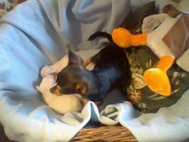 Foto 3 Süße kleine mini Chihuahua Rüden