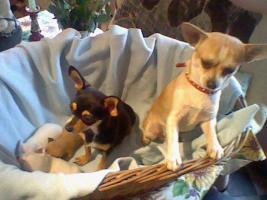 Foto 4 Süße kleine mini Chihuahua Rüden