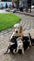 Foto 3 Süße reinrassige Beagle Welpen Tricolor suchen noch