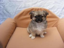 Foto 2 Süsse reinrassige Chihuahuawelpen LH