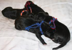 Foto 2 Süße reinrassige Deutsche Doggenwelpen suchen schon bald liebevolles neues zu Hause