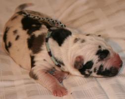 Foto 4 Süße reinrassige Deutsche Doggenwelpen suchen schon bald liebevolles neues zu Hause