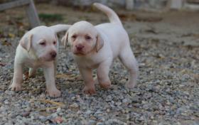 Foto 3 Süße reinrassige Labradorwelpen!