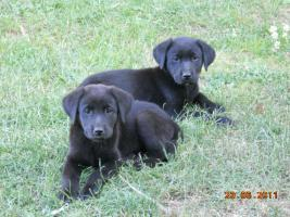 Foto 2 Süsse schwarze Labrador Babys mit gratis Lieferung!