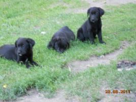Foto 5 Süsse schwarze Labrador Babys mit gratis Lieferung!