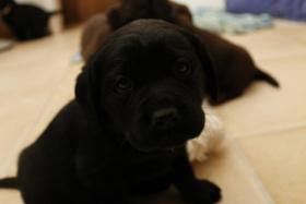 Süße schwarze Labrador Welpen aus liebevoller Familienzucht!