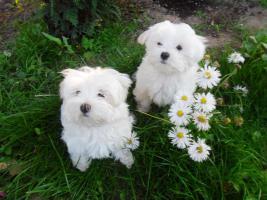 Foto 2 Süsse  Malteser- Babys