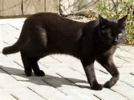 Süße, schwarze Katzendame