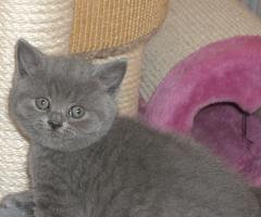 Süsse, verschmuste BKH Baby-Kitten