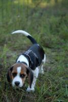 Süßer Beagle Welpe sucht ein liebevolles neues zu Hause
