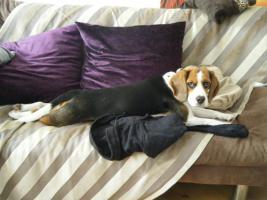 Foto 2 Süßer Beagle Welpe sucht ein liebevolles neues zu Hause