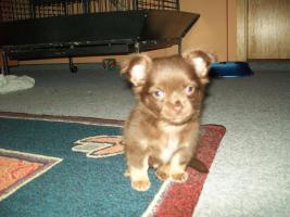 Süßer Chihuahua Schoko Rüde sucht ein nues zu Hause