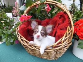 Süßer Chihuahua-Welpe