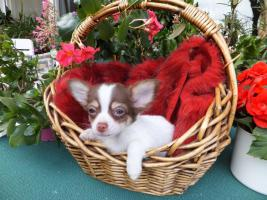 Foto 2 Süßer Chihuahua-Welpe