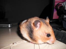 Süßer Hamster inklusive Käfig und Zubehör