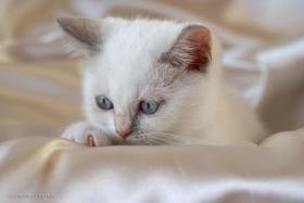 Süßes BKH (Britisch Kurzhaar) Kätzchen sucht ein neues Zuhause