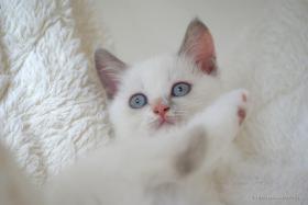 Foto 2 Süßes BKH (Britisch Kurzhaar) Kätzchen sucht ein neues Zuhause