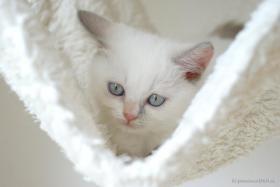 Foto 3 Süßes BKH (Britisch Kurzhaar) Kätzchen sucht ein neues Zuhause