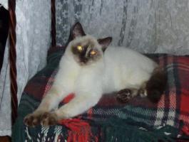 Foto 4 Süßes BKH-Kätzchen sucht zukünftiges Schmusepersonal