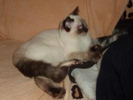 Foto 6 Süßes BKH-Kätzchen sucht zukünftiges Schmusepersonal
