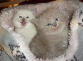 Foto 2 Süßes Highlander-Kitten sucht zukünftiges Schmusepersonal