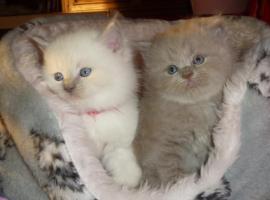 Foto 3 Süßes Highlander-Kitten sucht zukünftiges Schmusepersonal