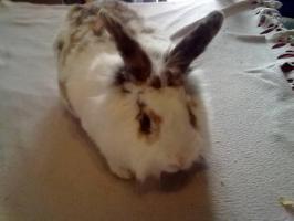 Foto 2 Süßes Kaninchen mit Käfig zu verkaufen