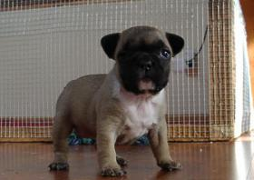 Foto 2 Super Süße Französische Bulldoggen - Welpen