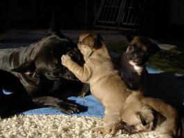 Foto 4 Super Süße Französische Bulldoggen - Welpen