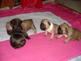 Foto 6 Super Süße Französische Bulldoggen - Welpen