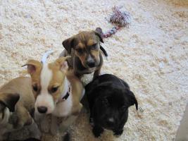Super Süße Labrador-Mischlinge suchen AB SOFORT ein neues Zuhause!