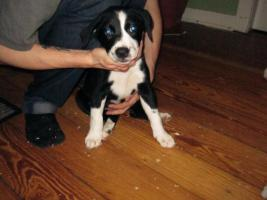 Foto 4 Super Süße Labrador-Mischlinge suchen AB SOFORT ein neues Zuhause!