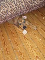 Foto 5 Super Süße Labrador-Mischlinge suchen AB SOFORT ein neues Zuhause!