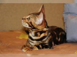 Super Süßes Bengal Marbled Kätzchen sofort zu haben