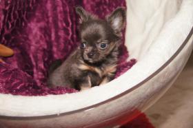Foto 2 Super kleiner Chi Rüde sucht ein liebevolles neues zu Hause.Er besitzt eine Ahnentafel, er ist gechipt geimpft und natürlich auch etwurmt.