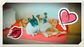 Super liebe bulldogen suchen ein Zuhause 8 und 9 jahre in beste hände