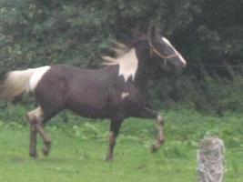 Foto 2 Super schickes Freizeitpferd abzugeben