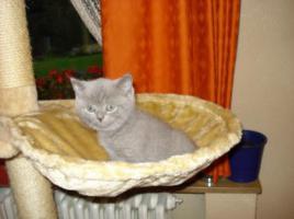 Foto 3 Super süße BKH Kitten in blue suchen neues Kuschelpersonal