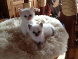 Foto 3 Super süße Birma - Kitten aus Hobbyzucht zu verkaufen