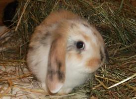 Foto 2 Super süße ZWERGWIDDER u.Angora Kaninchen - Widder! SELTENE FARBE
