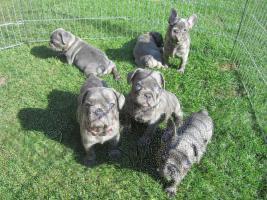 Super süße reinrassige Französische Bulldoggen Welpen zu verkaufen
